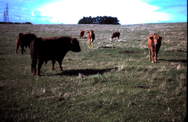 1977-5 (2) Young Braham bulls with older Red Angus bulls.JPG
