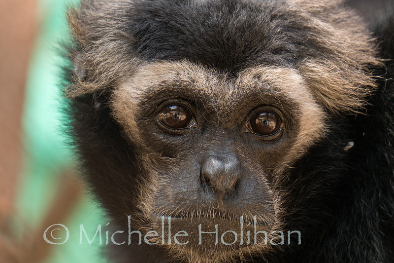 Pileated Gibbon at Phnom Tamao Zoological Park and Wildlife Rescue Center, Cambodia