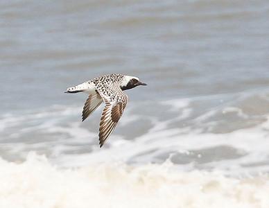 Cape Hatteras Birds