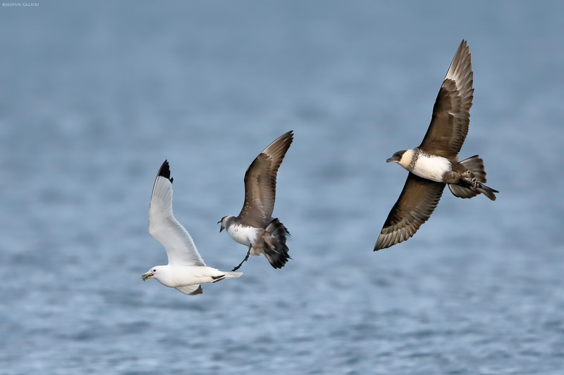 Pomarine and Parasitic Jaeger chasing a Black Legged Kittiwake