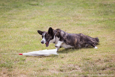 Lure Coursing - 16 Sep 2017
