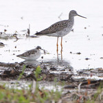 Wilson's Phalarope and Greater Yellowlegs