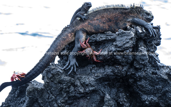 "Wildlife, landforms & landscapes of the Galapagos Islands.<br /> marine iguana, iguana,lizard,reptile,animal,wildlife<br /> Marine iguana gathering. <br /> The Marine Iguana (Amblyrhynchus cristatus) is an iguana found only on the Galápagos Islands<br /> <br /> Photos, prints & downloads SEE ALSO:  <a href=""http://www.blurb.com/b/3551540-galapagos-islands"">http://www.blurb.com/b/3551540-galapagos-islands</a>"