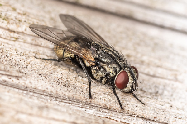 Musca autumnalis - Face fly (USA)
