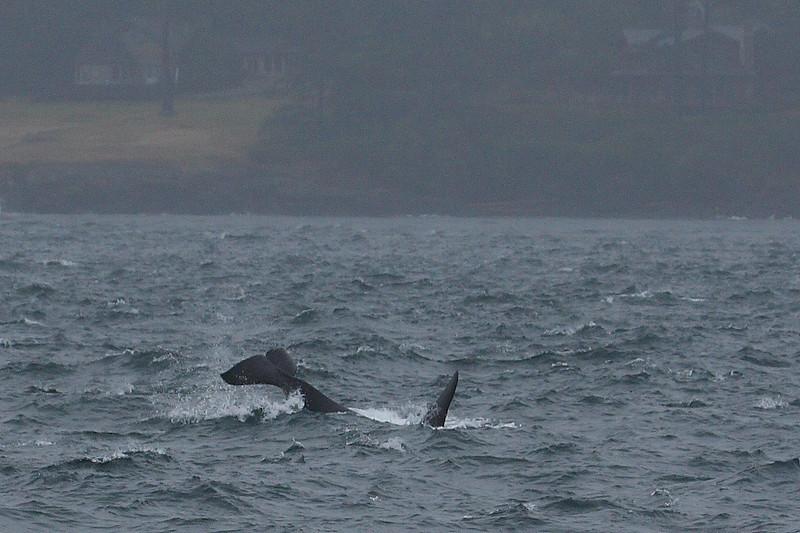 Orcas000010.JPG