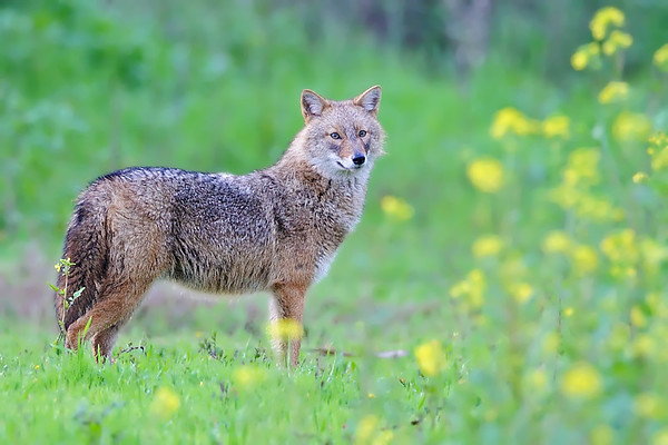 Golden jackal - תן זהוב