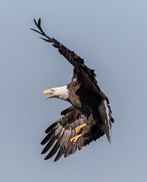 Bald Eagle-3106.jpg