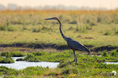 Goliath Heron on the Chobe