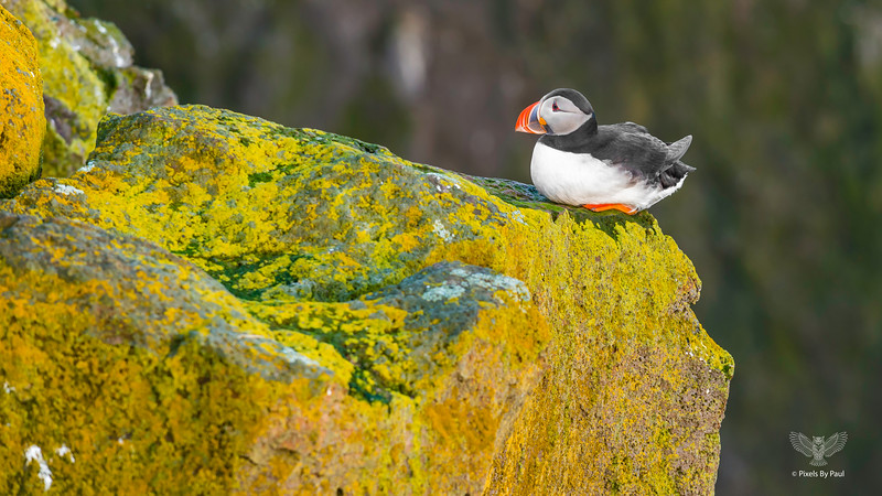 059 Puffin on Cliff 16x9.jpg