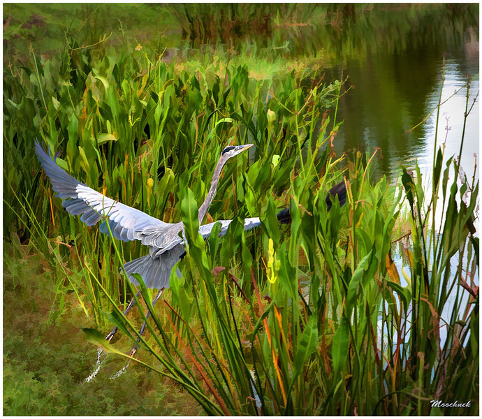 One of my creations again of this same Blue Heron.. Taken at the golf course of course.  D300 Tamron 28-75 F2.8 Iso 250 F5.6  1/640 -.33ev