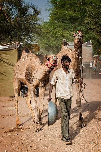 Feeding His Camels.jpg