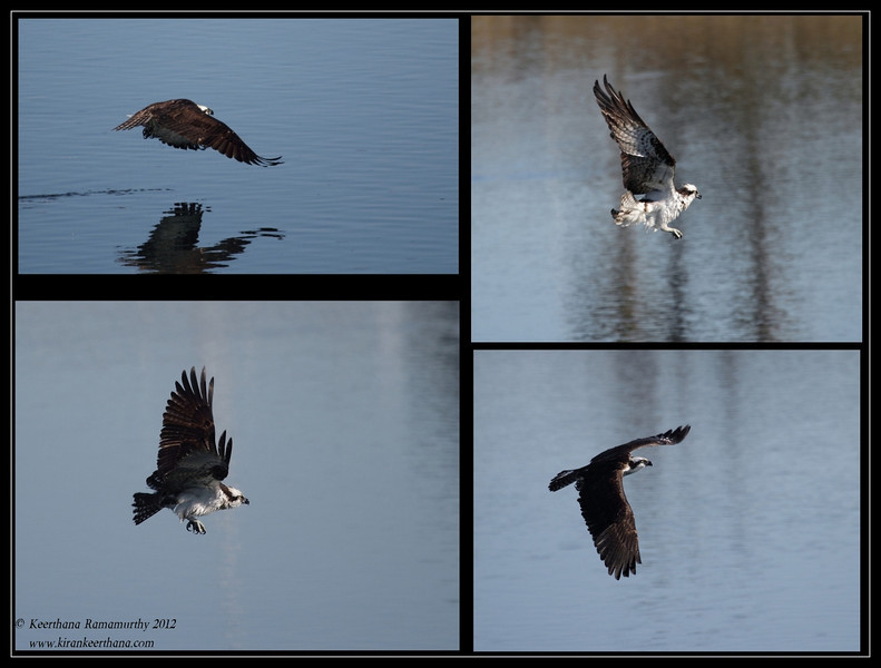 Osprey doing a mid-air shake, Robb Field, San Diego River, San Diego County, California, February 2012