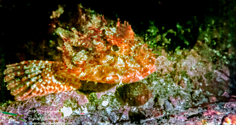 19810913_Hapuki_fish,_Bubble_cave_-_Poor_Knights-Edit.jpg