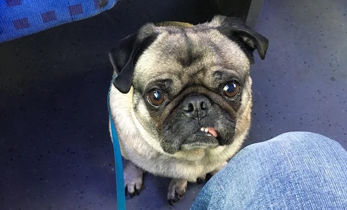 pug on a train