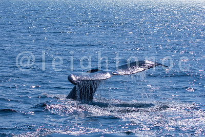 7 Seas Whale Watch - August 20, 2015