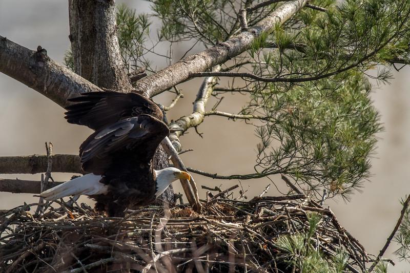 ulster-eagle-100.jpg