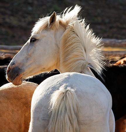 Le cheval blanc de Menelik