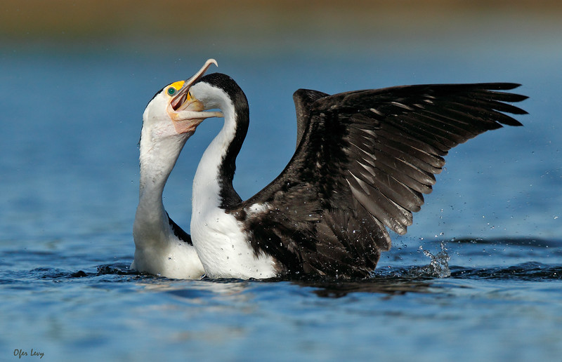Pied Cormorant feeding NEW MASTER.jpg