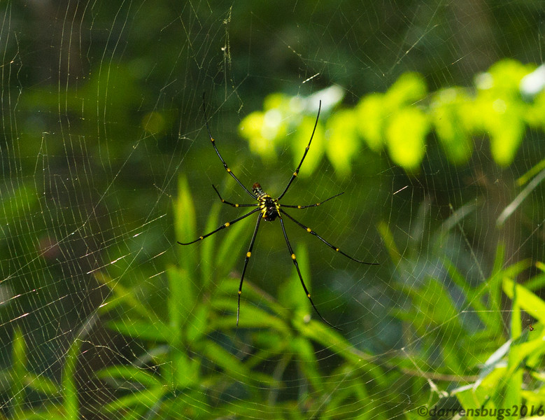 Golden Orb-weaver, genus Nephila, from Chiang Mai, Thailand.