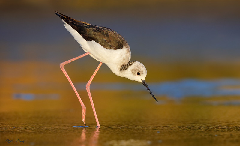 Black-winged Stilt juv in gold MASTER.jpg