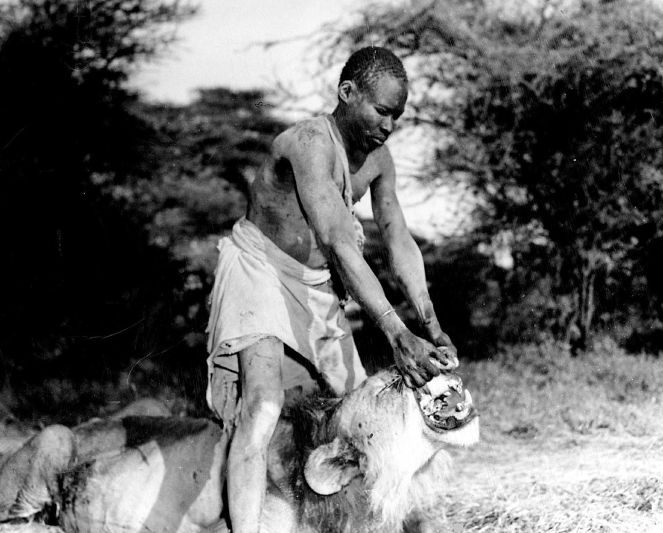 . MAR 8 1950  Arrol, native Turkana tracker who saw this same lion kill one of his tribesmen, spreads the *****show the broken teeth of the man killer of Isiolo - our safari\'s first trophy.   Credit: Denver Post