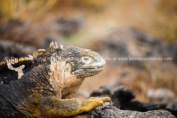 """Wildlife, landforms & landscapes of the Galapagos Islands. <br /> <br /> The Galapagos Land Iguana (Conolophus subcristatus)<br /> Photos, prints & downloads SEE ALSO:  <a href=""""http://www.blurb.com/b/3551540-galapagos-islands"""">http://www.blurb.com/b/3551540-galapagos-islands</a>"""
