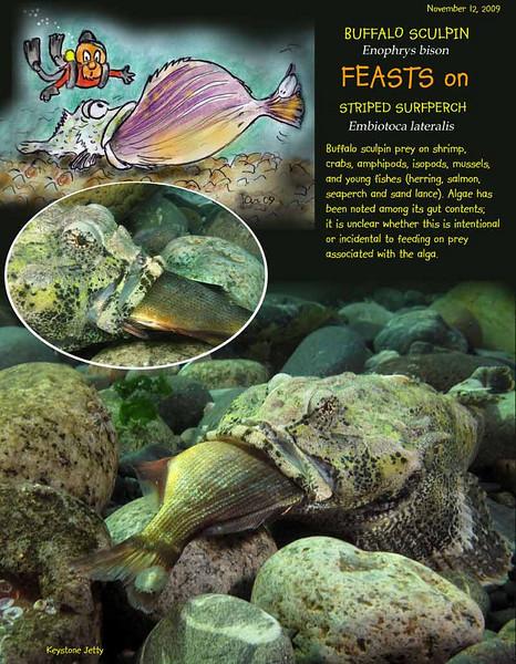 It is a Fish eats fish world out there... Buffalo sculpin munching on Striped surfperch. Keystone Jetty, November 12, 2009