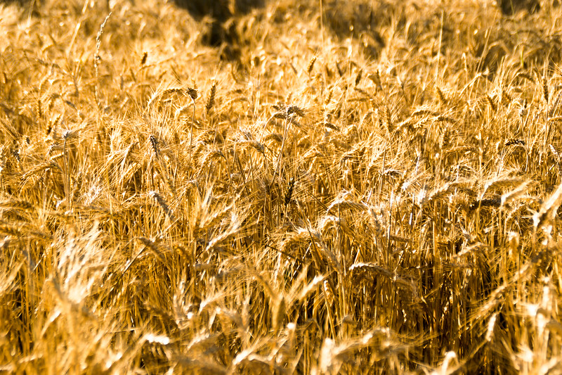 Moisson du blé à Flassans-sur-Issole