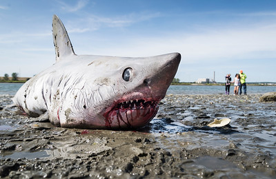 Shark washes ashore in Revere