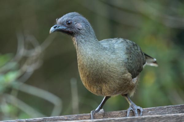 Groundbirds (usually)