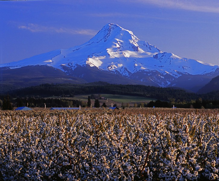 Late afternoon light on Mt. Hood and the Upper Hood River Valley.  Pear trees in the foreground in full blossom.