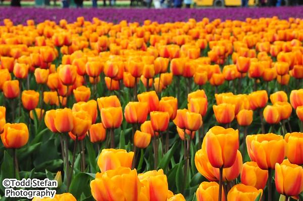 04-15-2017 Tulip Festival