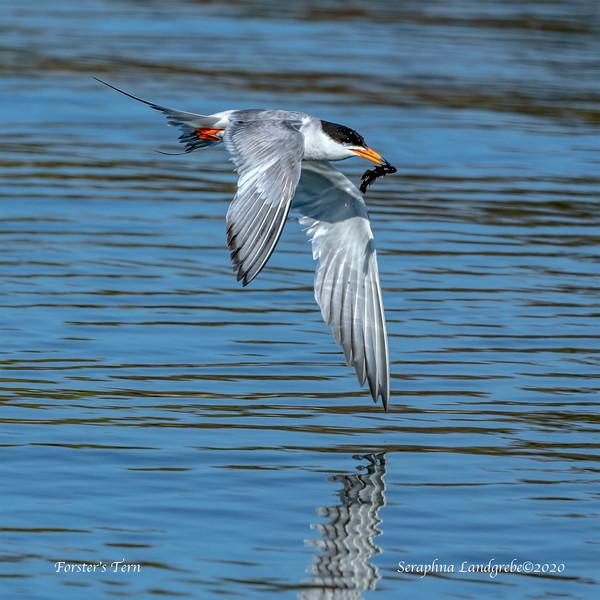 _DSC7285Forster's Terns Fish.jpg