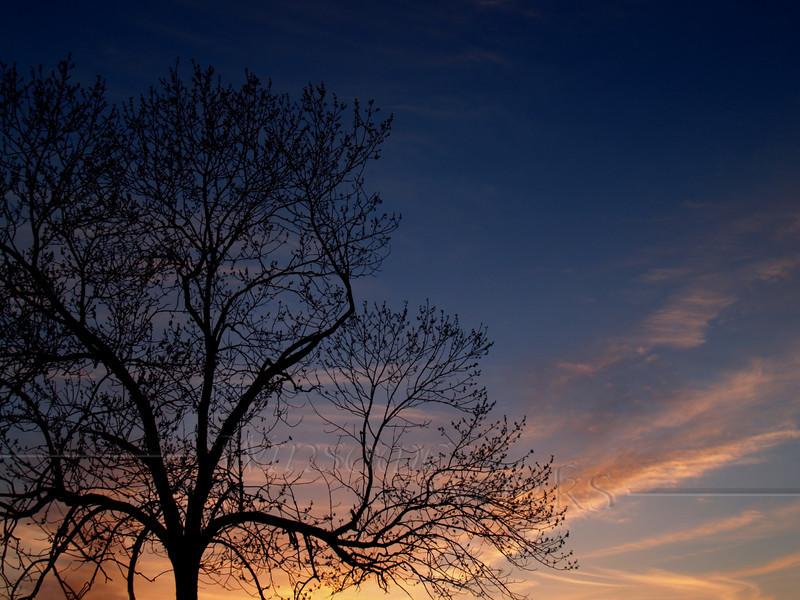 Black Walnut tree (Juglans nigra L.) Silhouetted in Sunset-- Quakertown, PA; spring