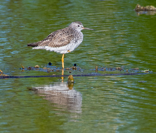 Lesser Yellowlegs, Green Cay wetlands