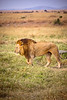 Male lion walking through the grassy plains of Africa. Photography fine art photo prints print photos photograph photographs image images artwork.
