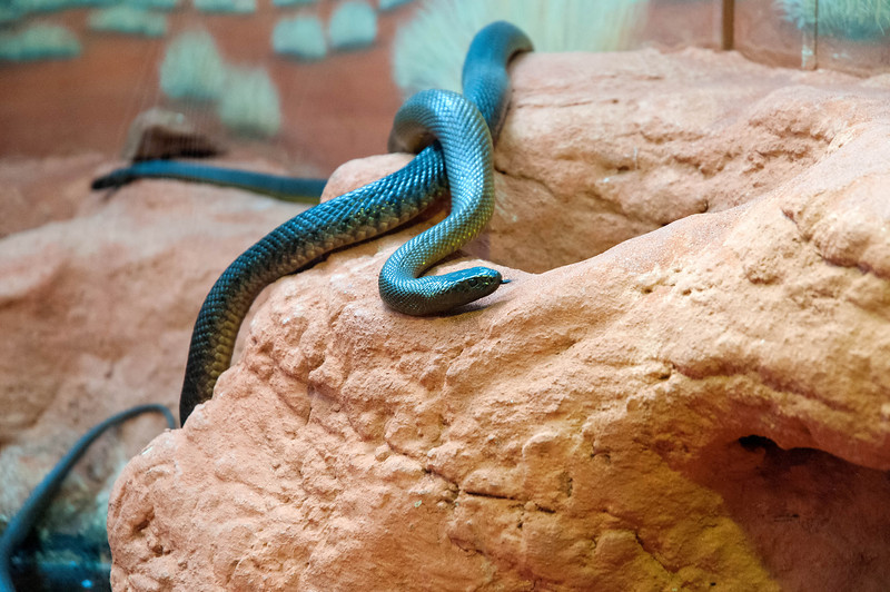 Inland Taipan The Inland Taipan, also known as the Small Scaled Snake and Fierce Snake, is native to Australia and is regarded as the most venomous land snake in the world based on LD50 values in mice. It is a species of taipan belonging to the Elapidae family