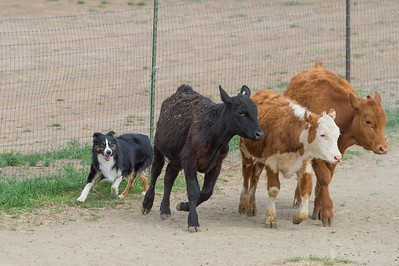 Cattle #3