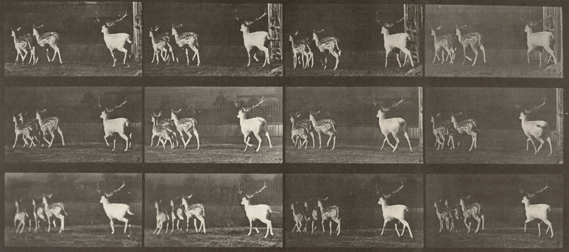 Fallow deer, buck and group of does, galloping (Animal Locomotion, 1887, plate 687)