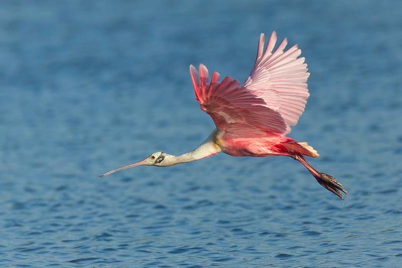 Roseate Spoonbill Eco Pond, Everglades National Park Flamingo, Florida © 2012