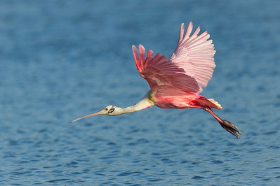 Spoonbills, Storks, & Flamingos