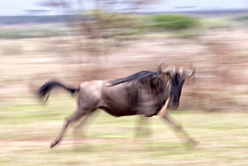 Serengeti_12_2013_wildebeest_run_4_FH0T8421.jpg