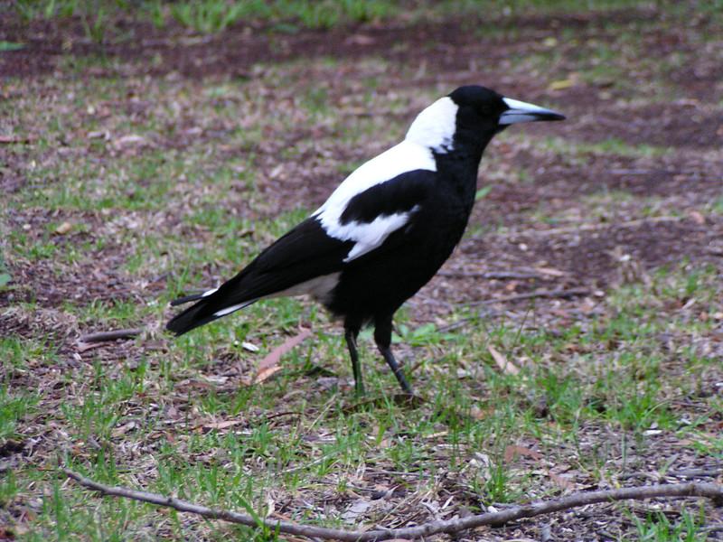 Australian Magpie (Gymnorhina tibicen)