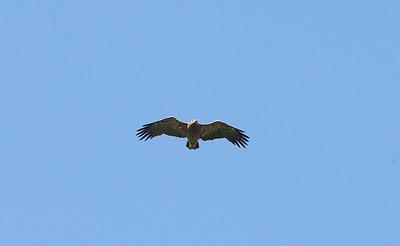 Pikkukiljukotka (Aquila pomarina)