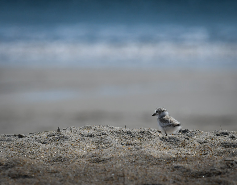 Piping Plover chick big world