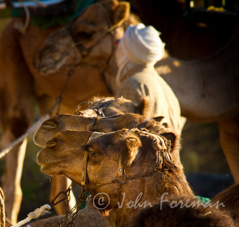 Camelids
