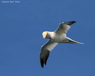 Gannets  Northern