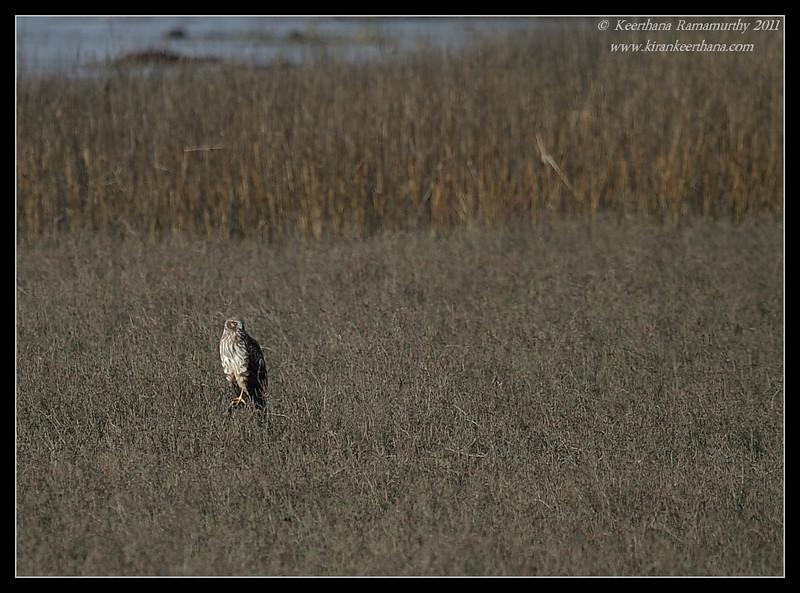 Female Northern Harrier habitat, San Elijo Lagoon, San Diego County, California, February 2011