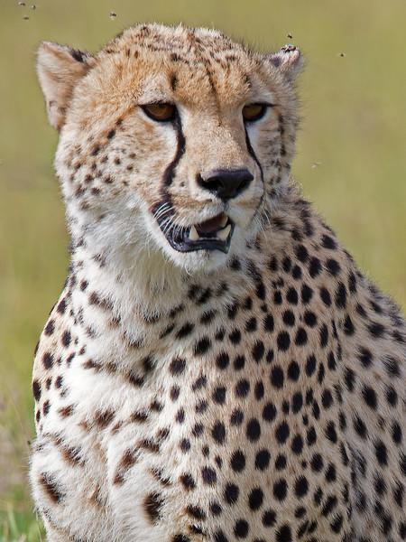 portrait of a cheetah.jpg