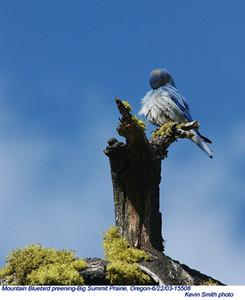MountainBluebird15508.jpg